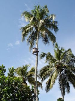 103004b-coconut2