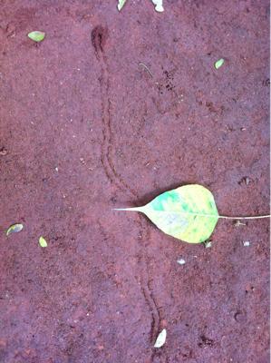 朝。インド菩提樹の葉と、